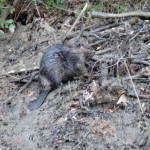 Wet beaver enjoys muddy existence, by Amy Hansen
